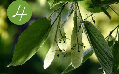 4. Raunacht – Destillation und Wirkung der Linde