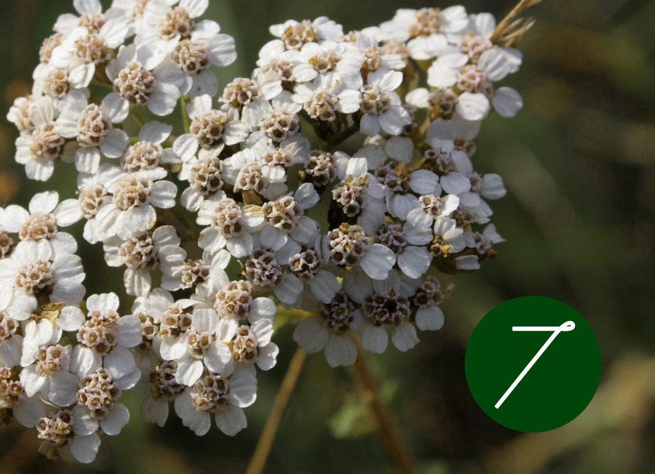 7. Raunacht: Destillation und Wirkung von Schafgarbe