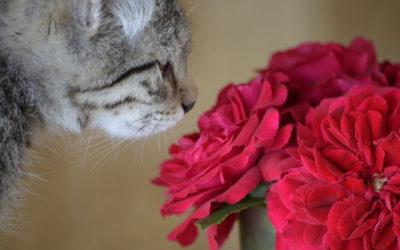 Aromatherapie und Katzen