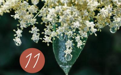 11. Raunacht: Destillation und Wirkung von Holunder