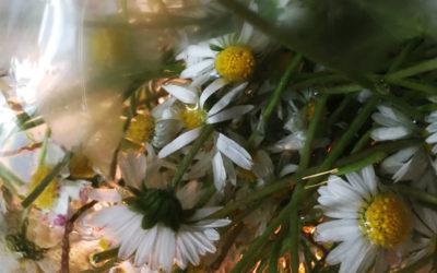 Gänseblümchen – Hydrolat für Katzen & das innere Kind