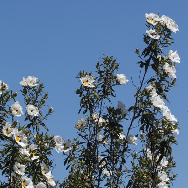 Wilde Cistrosenpflanzen vor blauem Himmel. Die vielen duftenden Blüten mit ihren weißen zarten Blütenblättern faszinieren immer wieder.