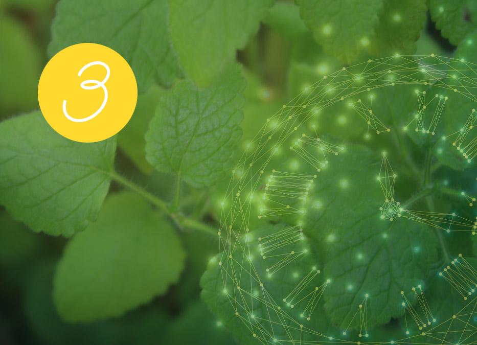 3. Raunacht: Melisse – Guter Duft/Böser Duft