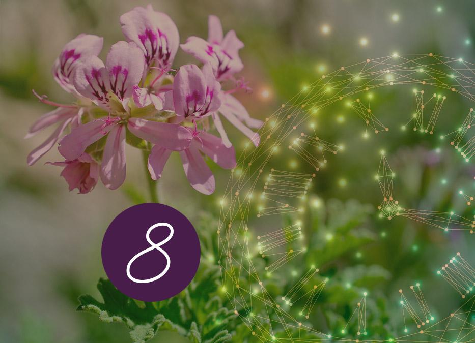 8. Raunacht: Rosengeranie – Guter Duft / Böser Duft