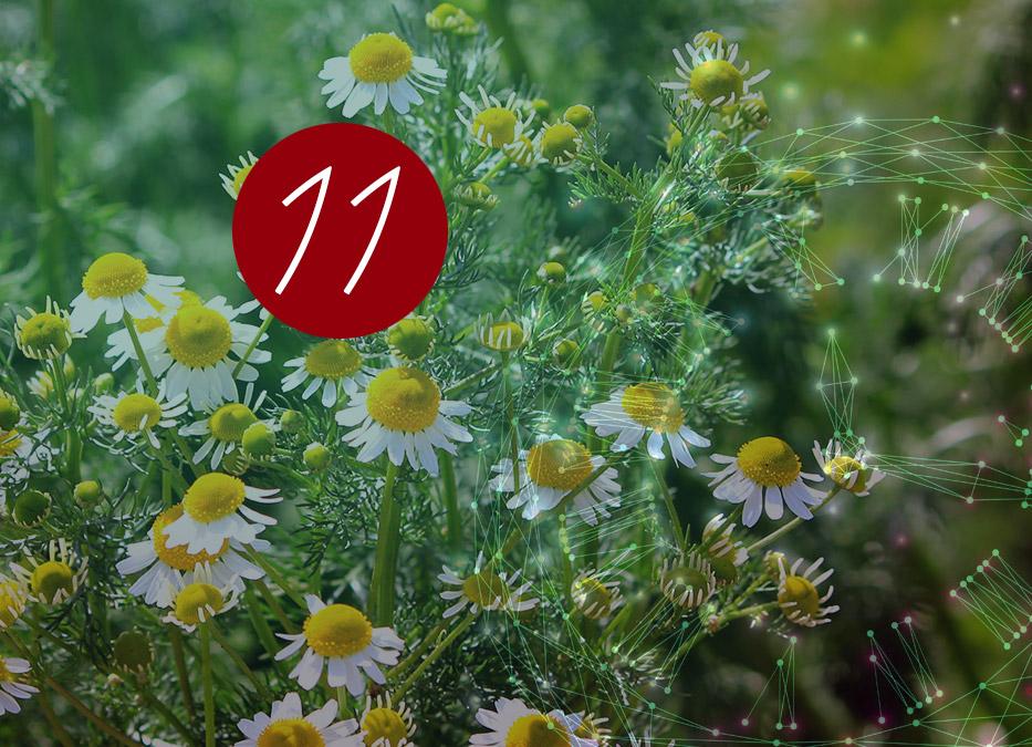 11. Raunacht: Römische Kamille – Guter Duft / Böser Duft