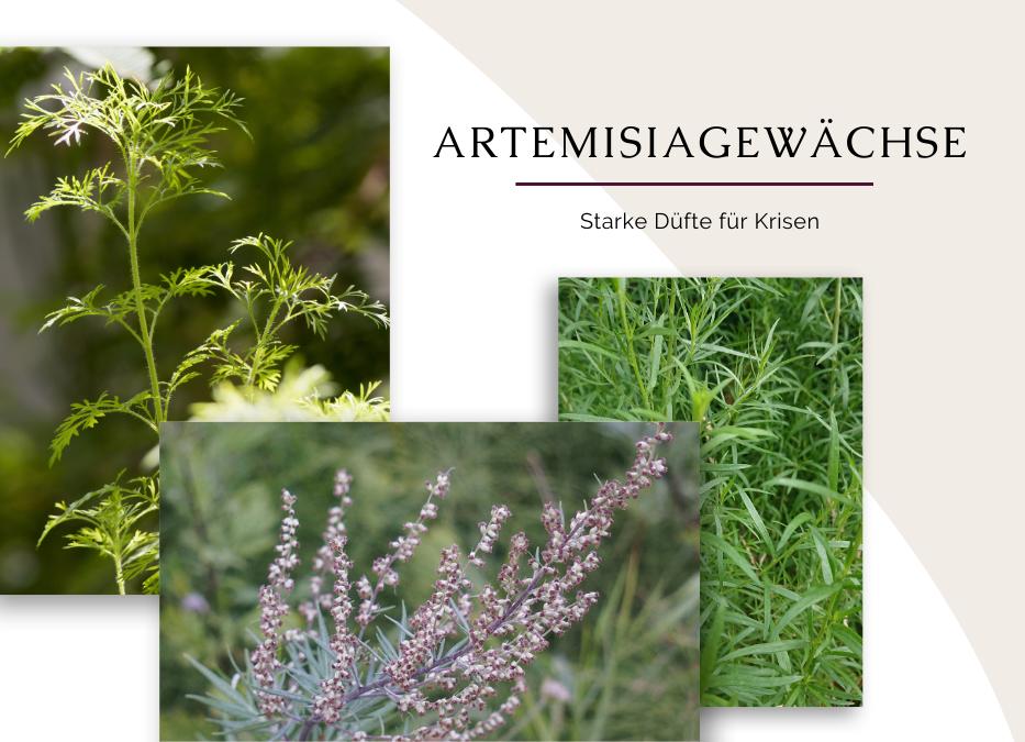 Artemisia Arten in der Aromatherapie