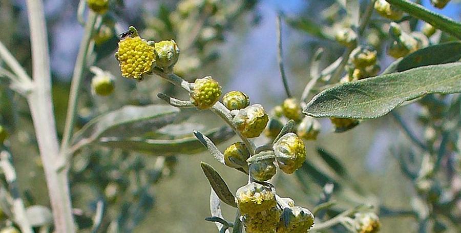 Artemisia absinthium - CC-BY-SA H. Zell / wikimedia
