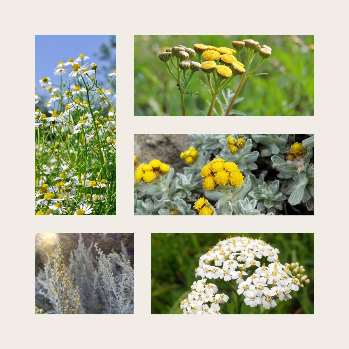 5 Pflanzen mit blauem Öl