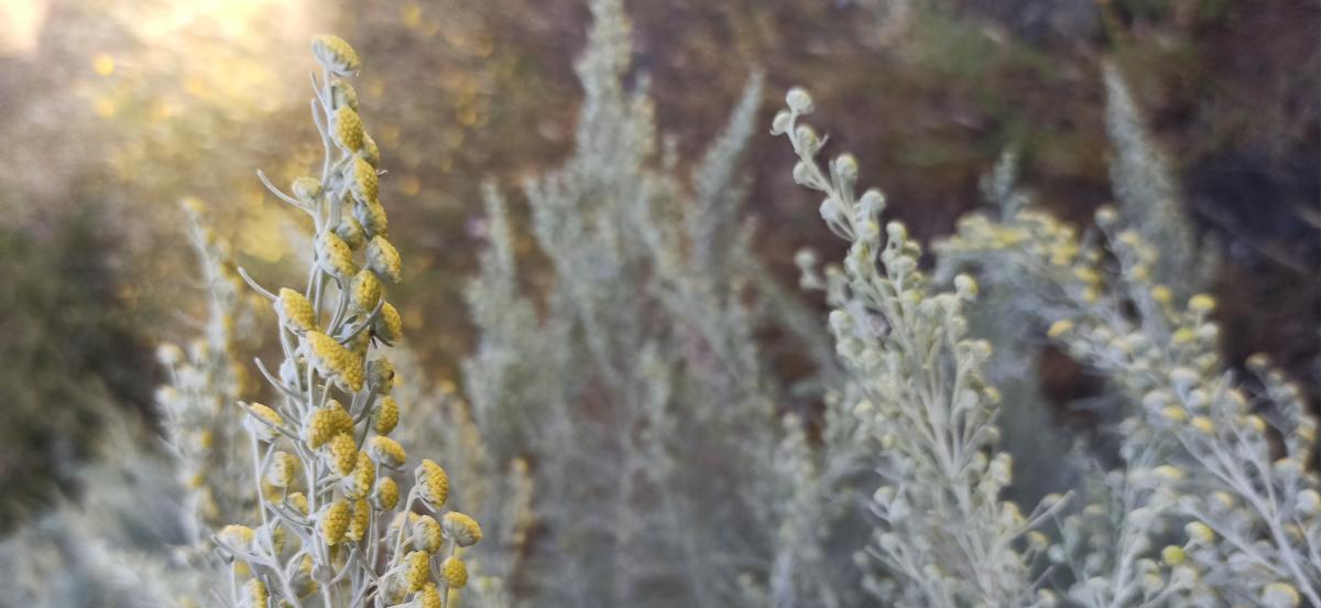 Artemisia arborescens - Strauch-Beifuß - Blüten in goldenem Licht - copyright Ines Lommatzsch