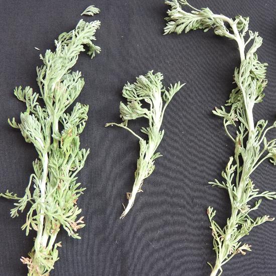 Stängel von Artemisia pallens - Yercaud-elango @ wikimedia - CC-BY-SA