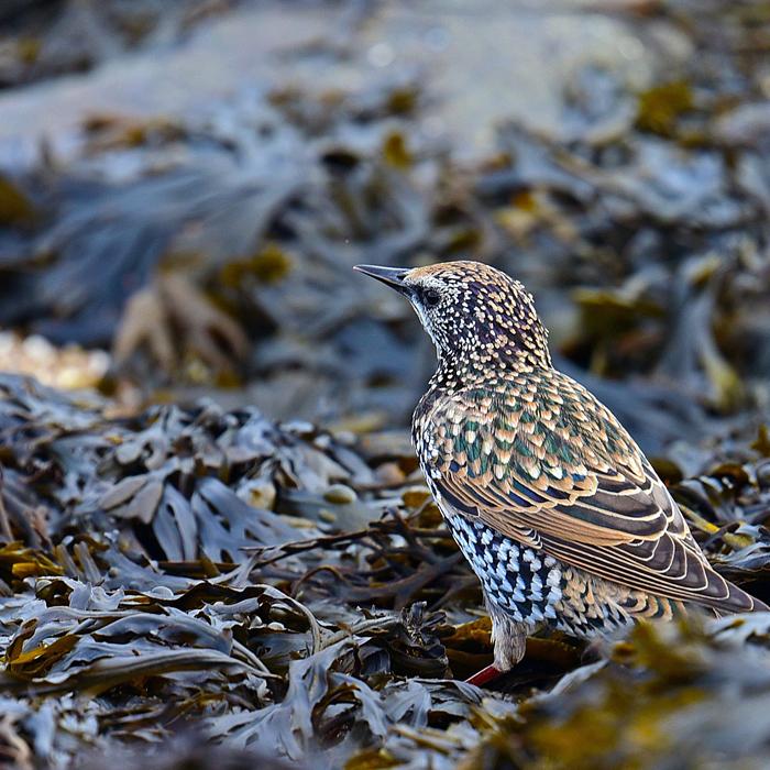 Ein Star-Vogel steht mitten im Blasentang an der Nordsee
