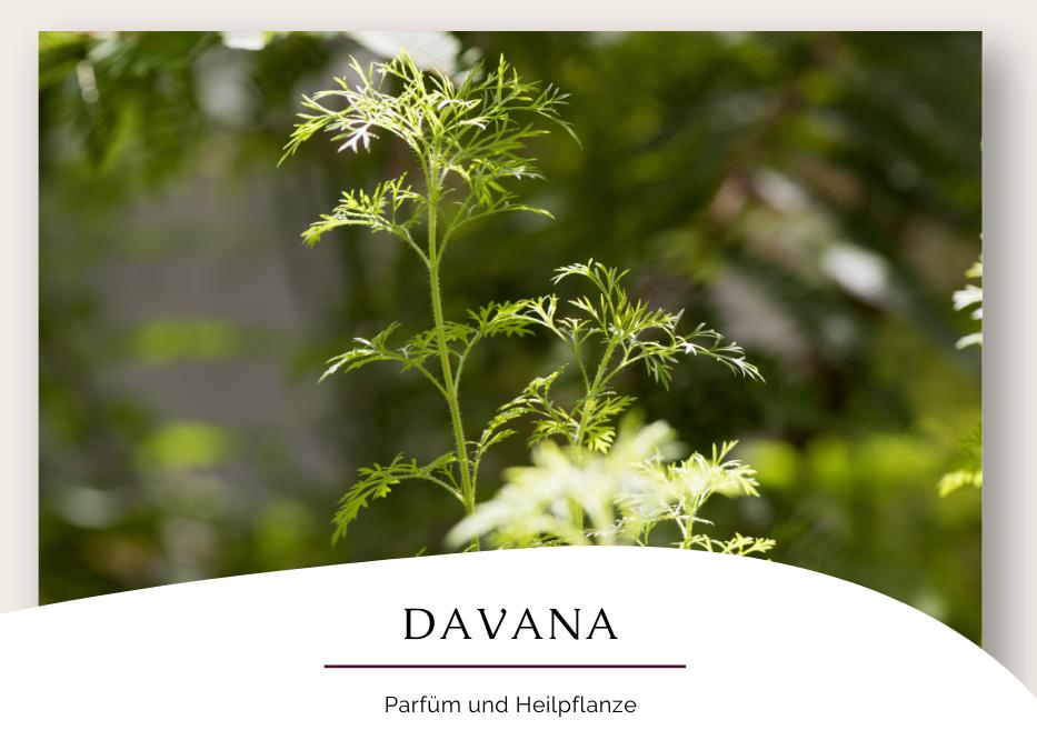 Davana – Parfüm und Heilpflanze