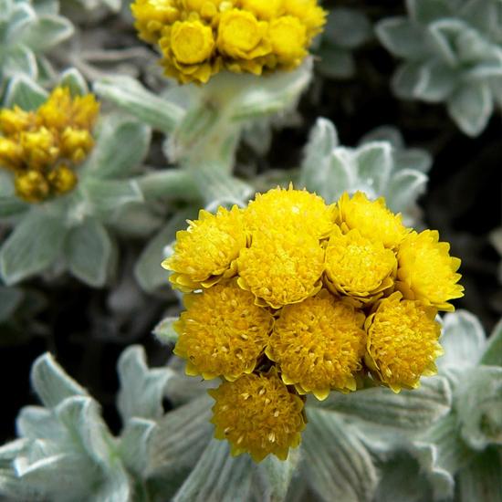Bild von Helichrysum splendidum von Stan Shebs / wikimedia / CC-BY-SA