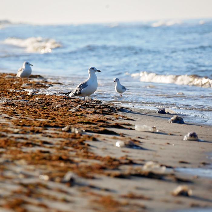 Seemöven wandern durch Algen am Strand
