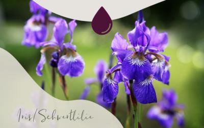 Duftbotschaft: Iris (Iris pallida)