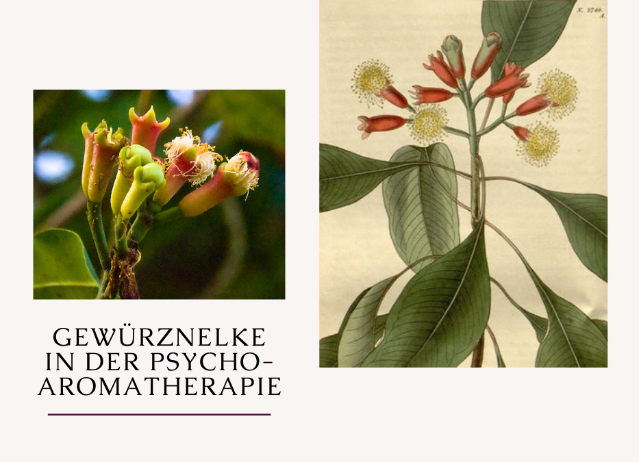 Gewürznelke in der Psycho-Aromatherapie - Titelbild mit den Blütenständen in bekannter Knospenform